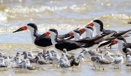 A group of oystercatchers and sanderlings sanding in shallow seawater