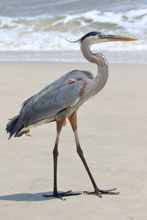 One great blue heron standing on a beach in Florida