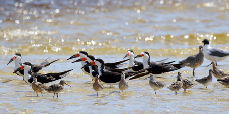 A group of oystercatchers and willets sanding in shallow seawater