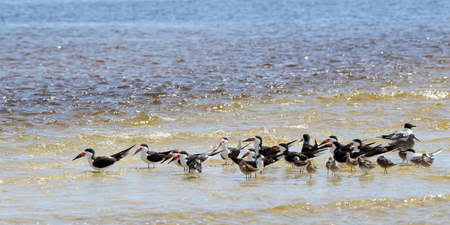 A group of oystercatchers seagulls and willets sanding in shallow seawater
