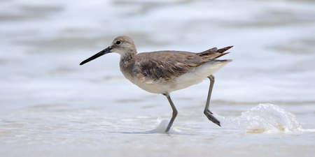 edge: One Willet walking at the edge of the surf