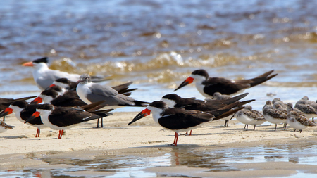 A group of black skimmers a seagull and shorebirds sanding in shallow seawater