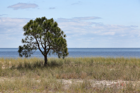 picturesque: Lone small pine tree on an empty grassy beach with blue sky and clouds