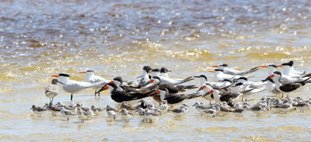 A group of black skimmers, seagulls and willets sanding in shallow seawater