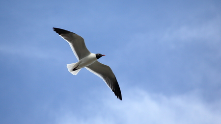 Seagull with wings spread against a blue sky