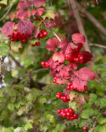 Red berries on bush with green land red leaves near Kingston Ontario
