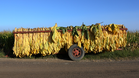 Mature newly harvested tobacco hanging outside in a trailer on a Southern Ontario farm Stock Photo