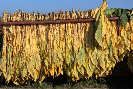 Madure el tabaco recién cosechado que cuelga afuera en un acoplado en una granja meridional de Ontario Foto de archivo