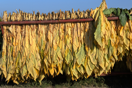 Mature newly harvested tobacco hanging outside in a trailer on a Southern Ontario farm Archivio Fotografico