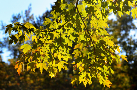 Maple tree branches with green and orange leaves back-lit on a sunny day