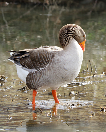 Domestic goose standing in shallow water preening in a park