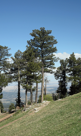 Pine trees at the peak of the Sandia Mountains east of Albuquerque New Mexico