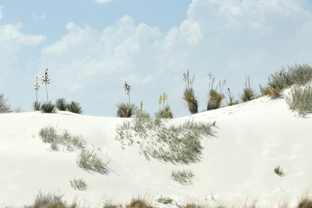 Flowering yucca plants on a brilliant white desert sand dune ridge in southern New Mexico