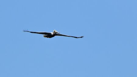One brown pelican gliding in a blue sky.