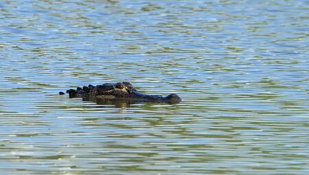 One alligator floating in calm water
