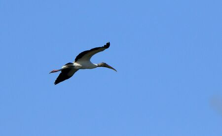 One wood stork flying Banco de Imagens
