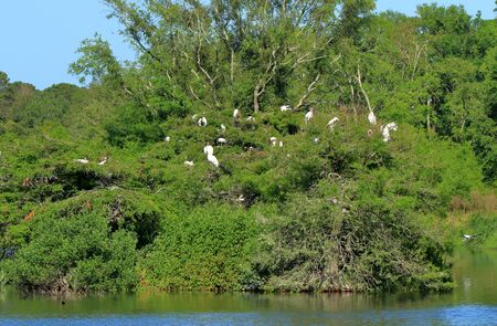 Many storks roosting on and island, in a pond, in the Harris Neck National Wildlife Refuge, Georgia Banco de Imagens