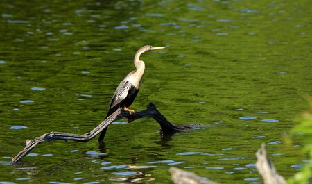 One anhinga sitting on a snag in a pond in the Harris Neck National Wildlife Refuge, Georgia Banco de Imagens