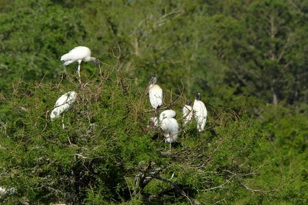 Six storks roosting on and island, in a pond, in the Harris Neck National Wildlife Refuge, Georgia Stock Photo