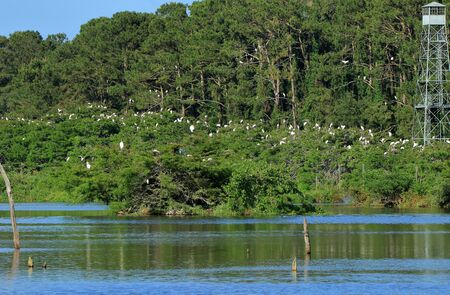Many storks roosting on and island, in a pond, in the Harris Neck National Wildlife Refuge, Georgia Stock Photo
