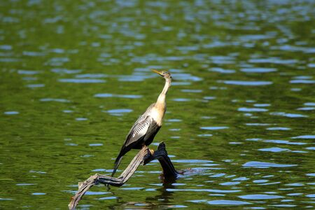 One anhinga sitting on a snag in a pond in the Harris Neck National Wildlife Refuge, Georgia Stock Photo