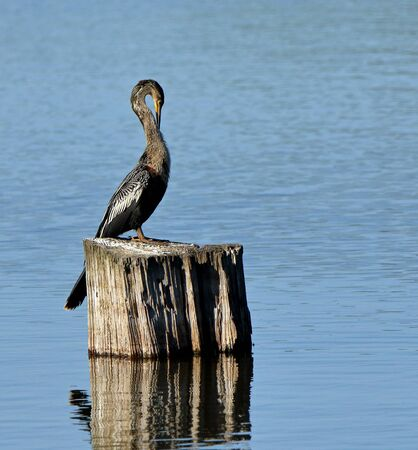 One anhinga sitting on a tree stump in a pond in the Harris Neck National Wildlife Refuge, Georgia
