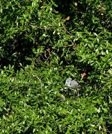 One Tricolored Heron standing in a green bush in coastal Georgia, USA