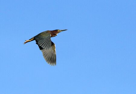 One green heron flying with a blue sky as background in the Harris Neck National Wildlife Refuge, Georgia Stok Fotoğraf