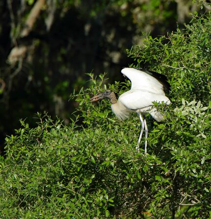 One wood stork standing on a bush at Harris Neck National Wildlife Refuge, Georgia