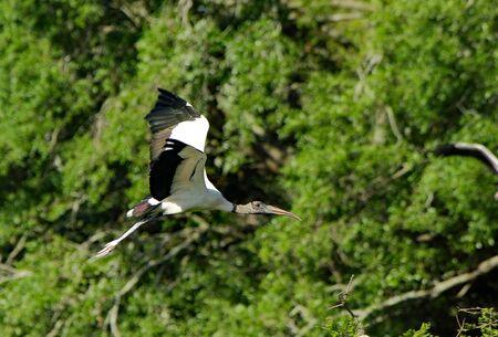 One wood stork flying Stok Fotoğraf