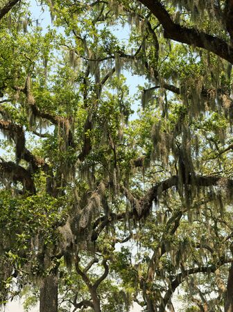 Tree branches with green leaves and spanish moss in Savannah, Georgia