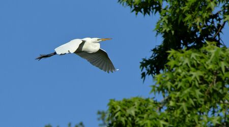 A Great egret gliding with a blue sky as background Stock Photo