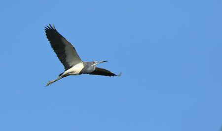 One Tricolored Heron flying against a blue sky in coastal Georgia, USA Banco de Imagens