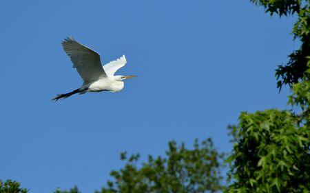 A Great egret gliding with a blue sky as background Stok Fotoğraf
