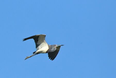 One Tricolored Heron flying against a blue sky in coastal Georgia, USA Stock Photo