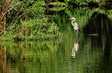 A great Blue heron standing in a pond with green reflections on the water at Harris Neck National Wildlife Refuge, Georgia Stock Photo