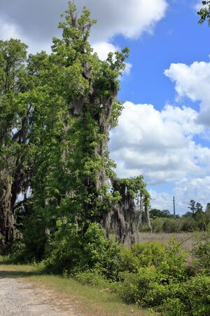 Spanish moss on a tree branch in coastal Georgia