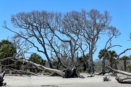 A stand of dead trees on Driftwood Beach in coastal Georgia