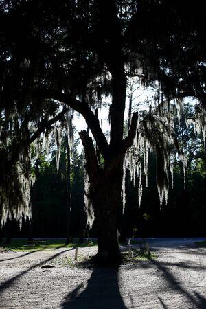 Spanish moss on a tree in coastal Georgia