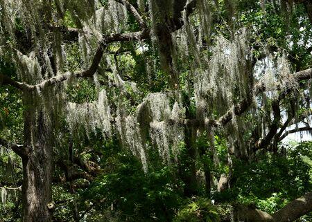 Spanish moss in a tree in coastal Georgia Banco de Imagens