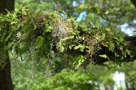 Spanish moss and ferns on a live oak branch in a downtown park in Savannah, Georgia