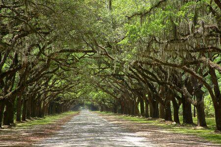 Spanisches Moos auf Bäumen, die eine unbefestigte Straße in Küstengeorgien säumen