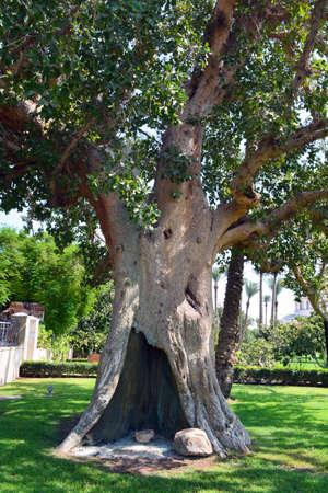 Sycamore Tree of Jericho