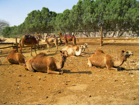 Camel Pen