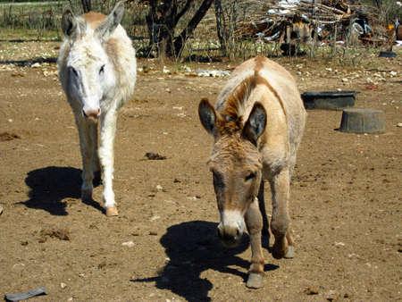 donkeys: Baby Donkeys Stock Photo