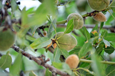 Early Almonds