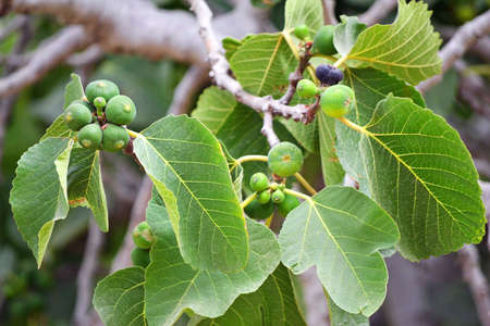 Growing Figs Imagens - 48704189