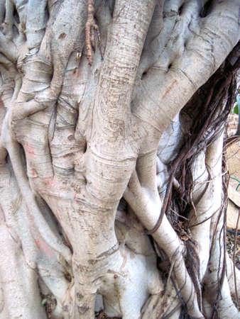 sicomoro: Sycamore Tronco d'albero Archivio Fotografico