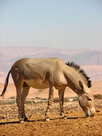 arava: Wild Ass Eating