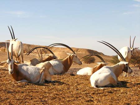 arava: Arabian Oryx Stock Photo
